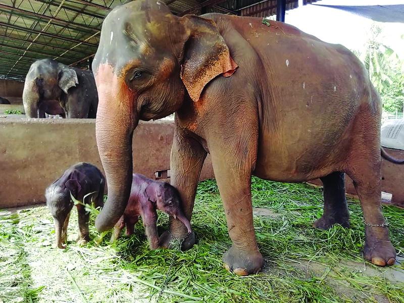 Sri Lanka informa el nacimiento de elefantes gemelos
