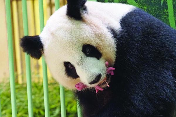 Panda prestada a Francia da a luz a gemelos